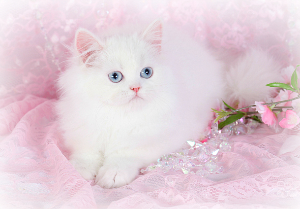 ... - Results For Teacup Persians For Sale Teacup Persian Kittens For