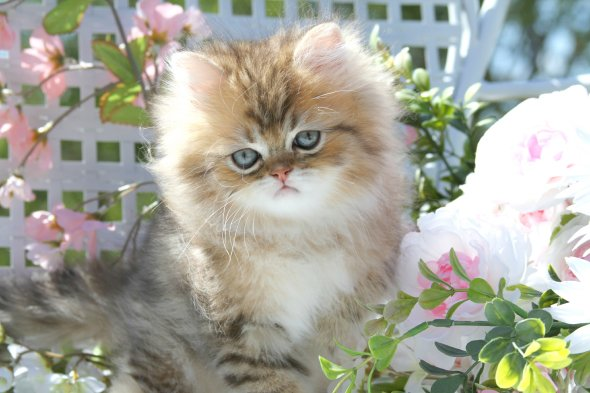 adult himalayan cats for sale