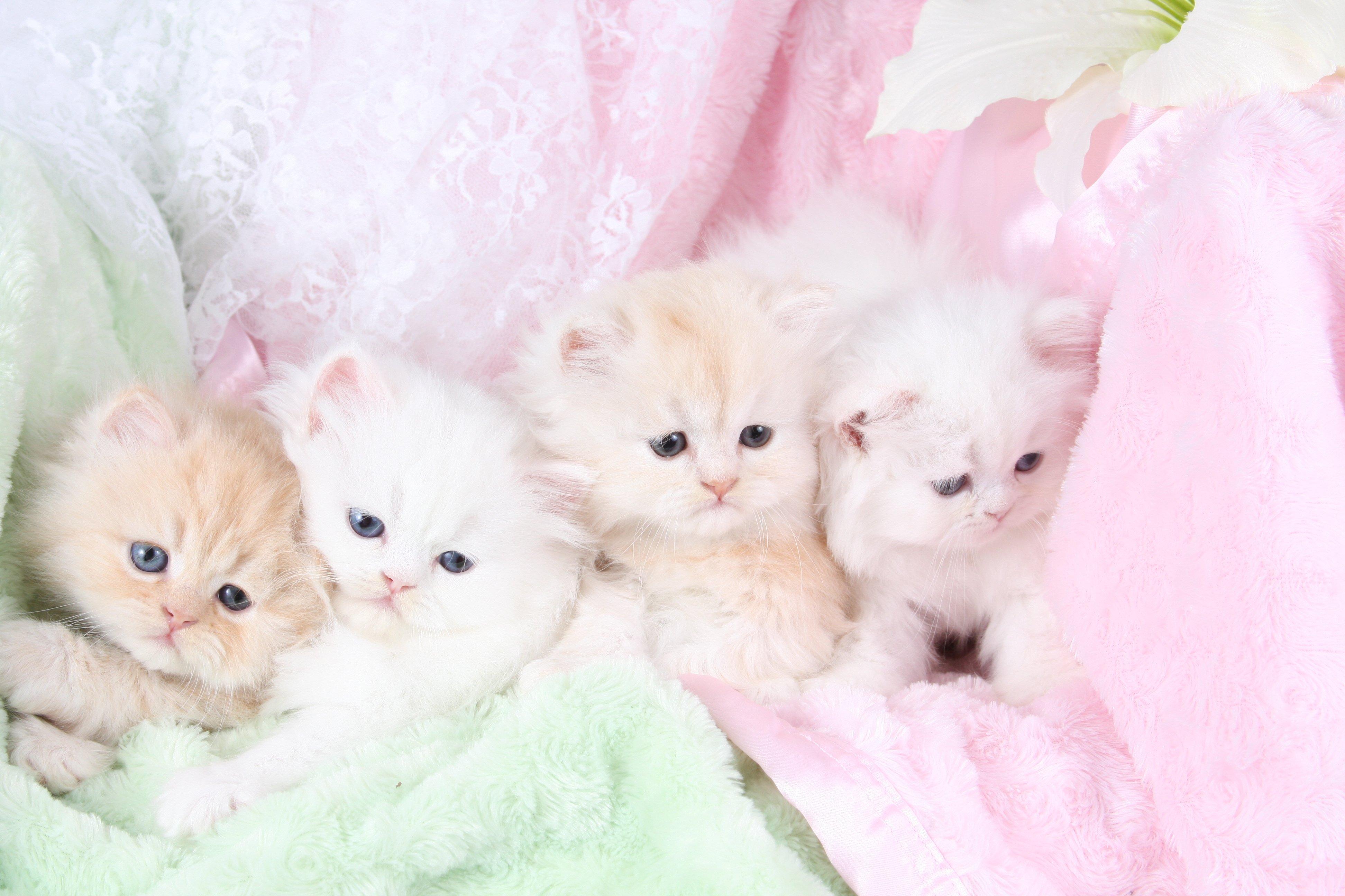 teacup doll face persian kittens Car Tuning White Teacup Persian Kitten