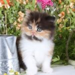 Calico and bicolored Persian Kittens for Sale