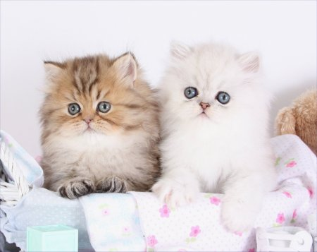 Teacup Persians For Sale | Teacup Persian Kittens For Sale