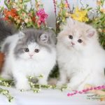 Bicolor Persian kittens - Tuxedo Persians