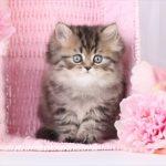 Sneak Peak into The Nursery - Doll Face Persian ... |Baby Doll Face Kittens