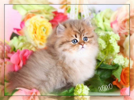 Teacup Kittens - American Doll Face Kittens - Persian Kittens for Sale