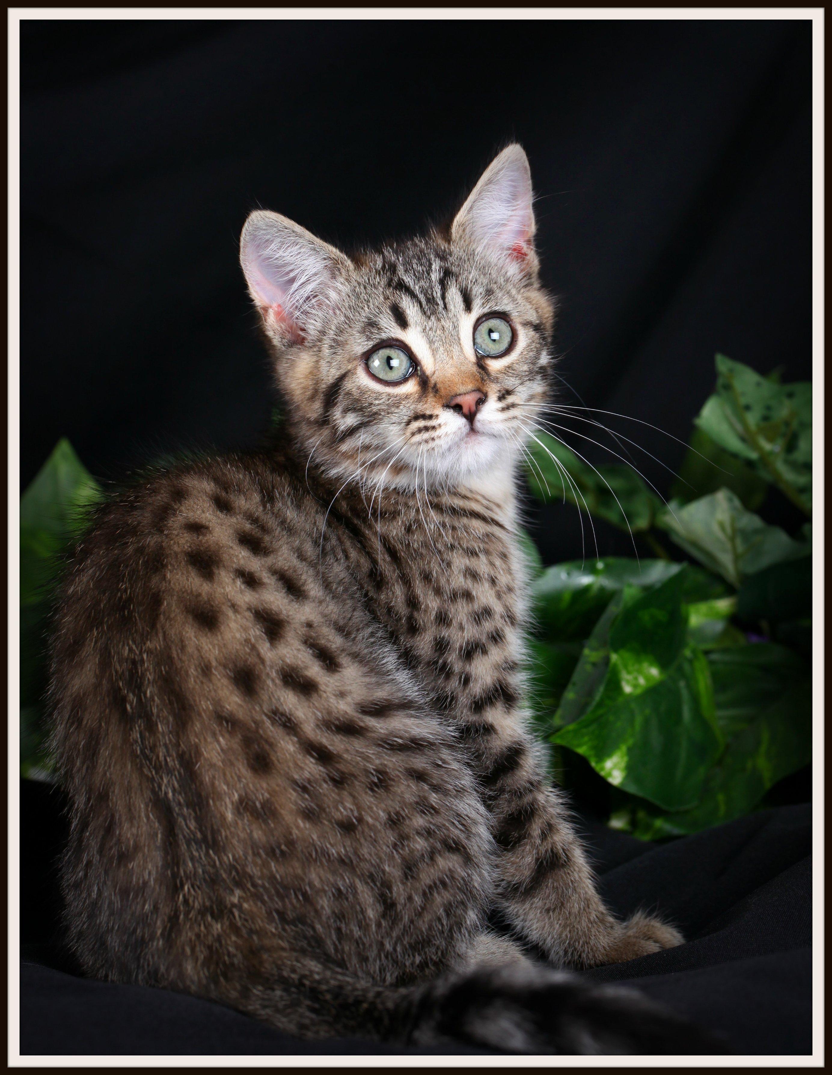 Pergal Kitten for Sale Ultra Rare Persian Kittens For Sale