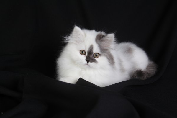 At Doll Face Persian Kittens,