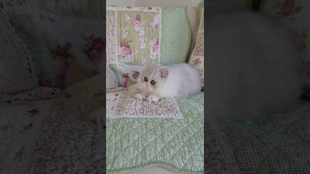 Designer kittens for sale