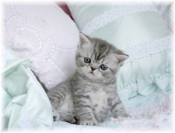 Short Haired Tabby Kitten Silver Tabby Exotic Short Hair