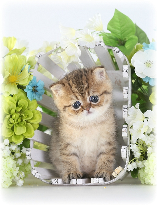 Exotic Shorthair Kitten - Shaded Golden Persian Kitten - Doll Face Persian