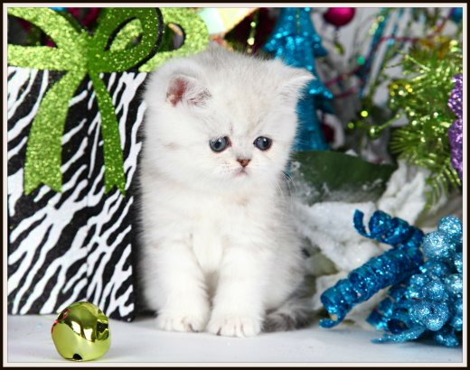 Silver Chinchilla Exotic Short Hair Persian Kitten
