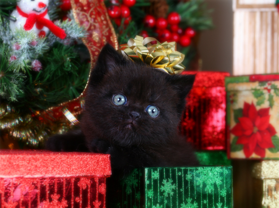 Black Exotic Short Hair Persian Kitten