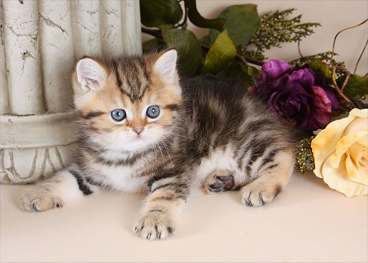 Short Haired Exotic Persian Kitten