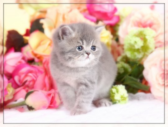 Exotic Short Haired Persian Kitten