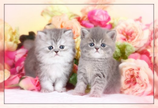 Exotic Shorthair Persian Kittens from Doll Face Persian Kittens Cattery