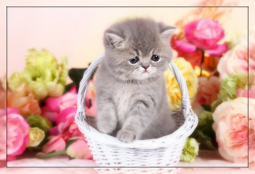 Blue Silver Exotic Short Hair Persian Kitten