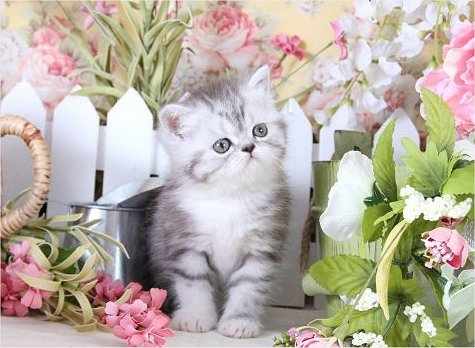 Silver Tabby and white exotic short hair Persian kitten