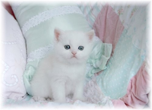 Doll Face Persian Kittens White Exotic Shorthair Persian Kitten