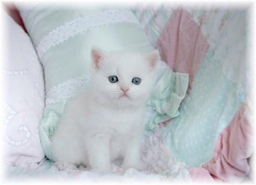 Doll Face Persian Kittens White Exotic Shorthair Persian Kitten