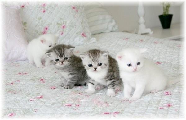 Doll Face Persian Kittens Exotic Shorthair Persian Kittens