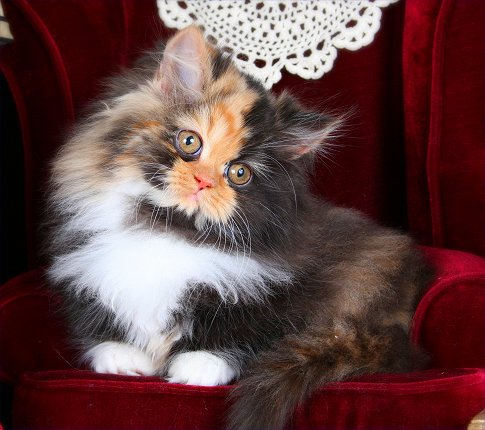 Calico Rug Hugger Persian Kitten