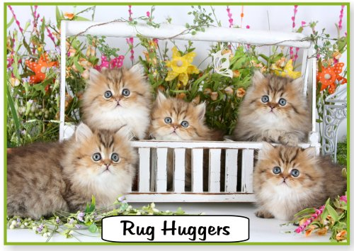 Cheap persian kittens for sale in ohio
