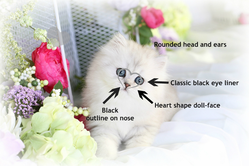 Traditional doll face persian cats