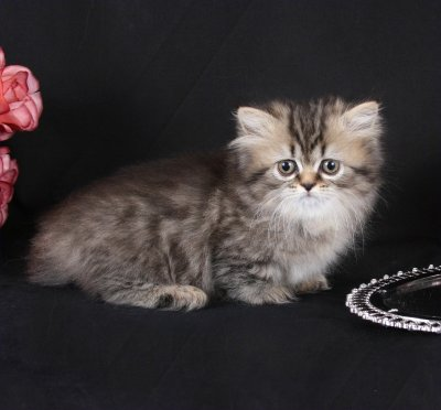 Doll Face Persian Kittens - Shaded Golden Rug Hugger