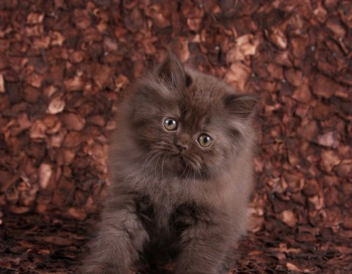Solid Chocolate Persian