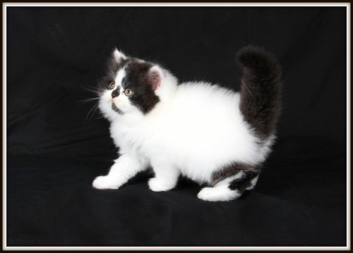 Black and white bicolor Van Persian kitten
