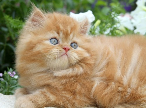 Beemer - Red tabby male Persian kitten