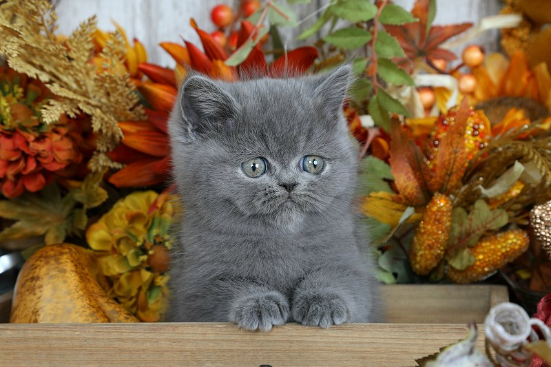 Doll Face Persian Kittens Blue Exotic Shorthair Persian Kitten