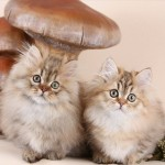 Teacup Rughugger Persian Kittens