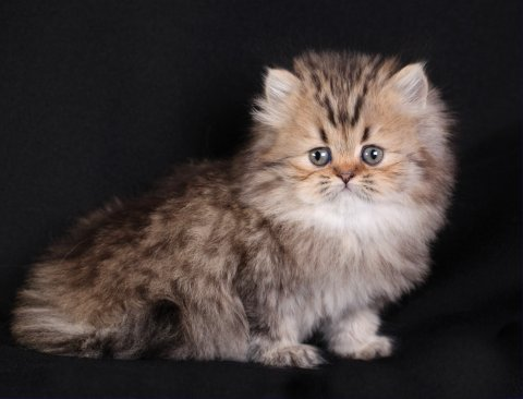 Shaded Golden Persian Kitten