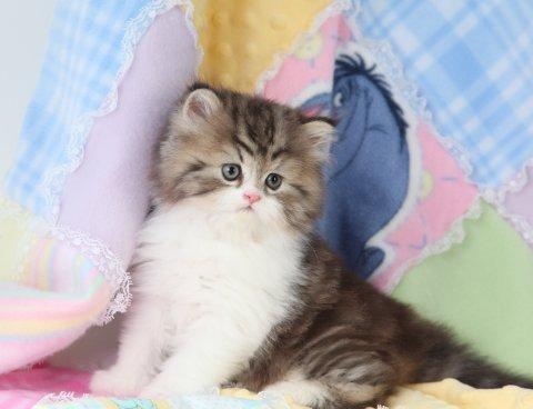 Shaded Golden & White Persian Kitten