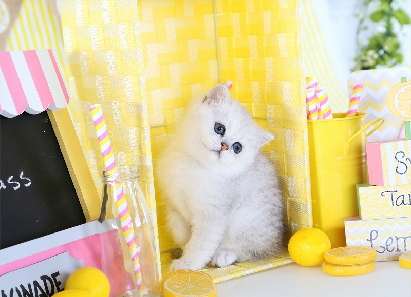 Silver Chinchilla Exotic Shorthair Kitten