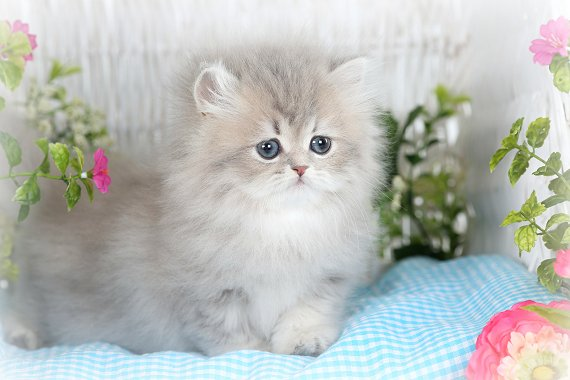 Blue Chinchilla Golden Kittens