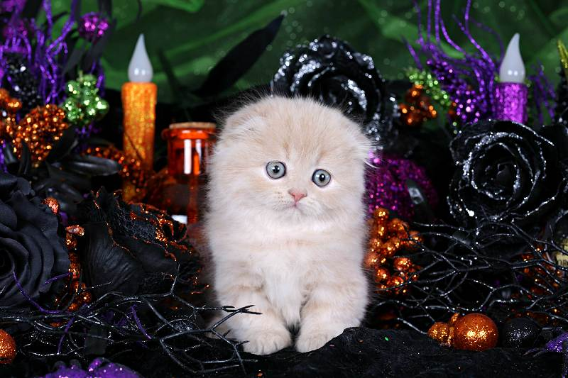Cream Floppy Eared Persian Kitten