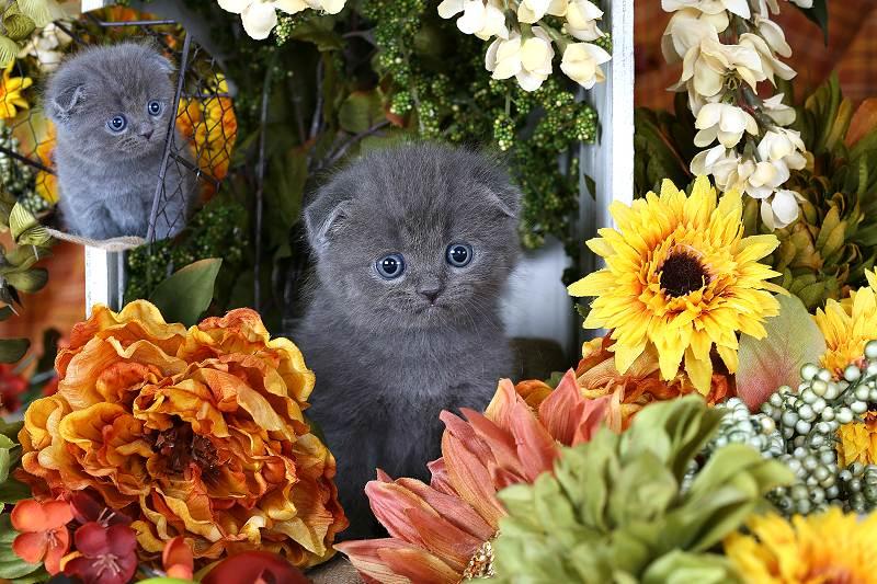 Doll Face Persian Kittens Blue Exotic Shorthair Persian Kitten