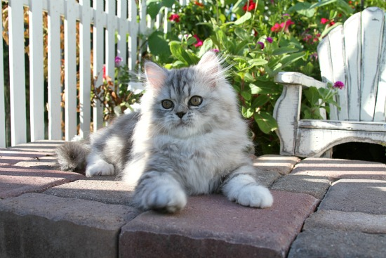 Female persian doll face cat price