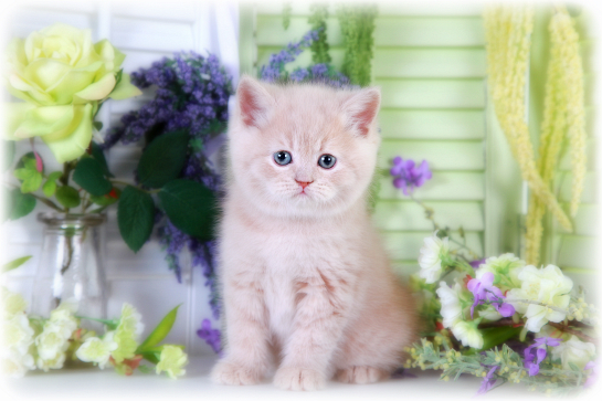 Cream Teacup Exotic Short Hair Kitten