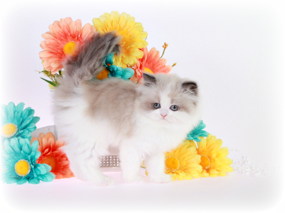 Seal Bi-Color Point & White Himalayan Kitten