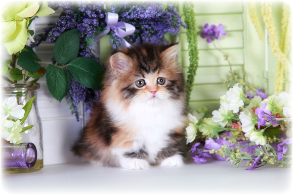 Calico Teacup Rug Hugger Kitten
