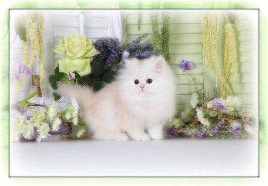 Champagne Teacup Persian Kitten