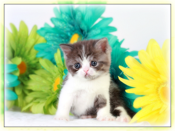 Black Smoke & White Teacup Exotic Short Hair Kitten
