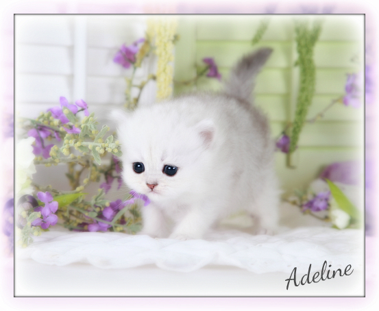Silver Chinchilla Teacup Persian Kitten