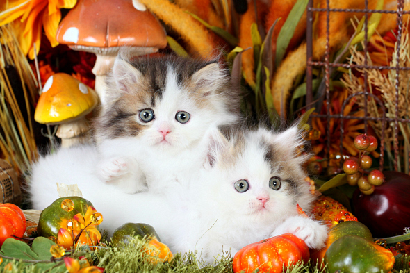 Shaded Golden & White Patchwork Persian Kittens