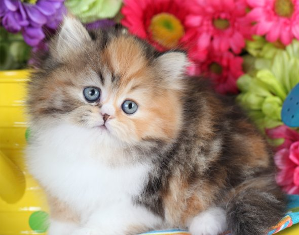 Calico Tabby Persian Kitten