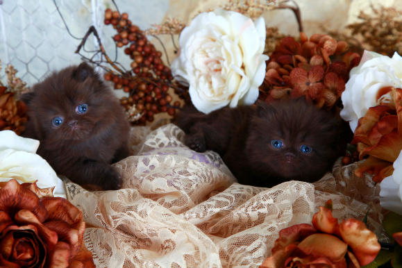 Solid Chocolate Persian Kittens