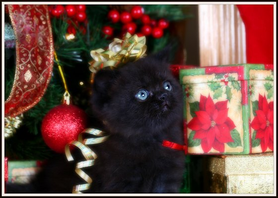 Black Exotic Short Hair Kitten