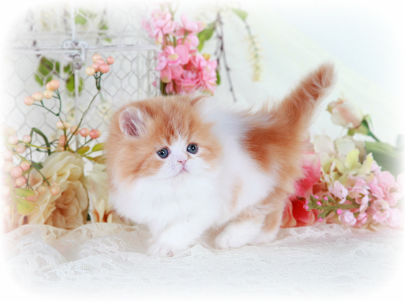 Red and White Persian kittens